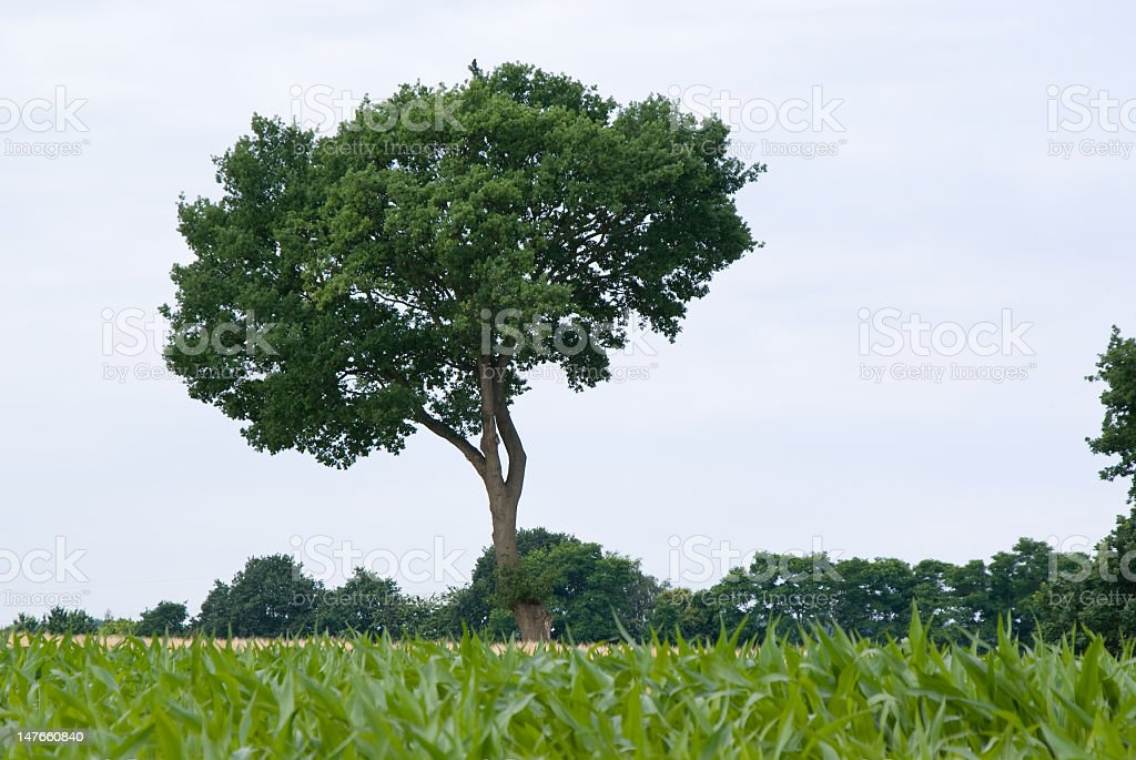Oak tree with maize in front royalty-free stock photo