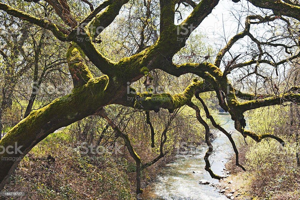 Oak Tree with Moss over Creek stock photo