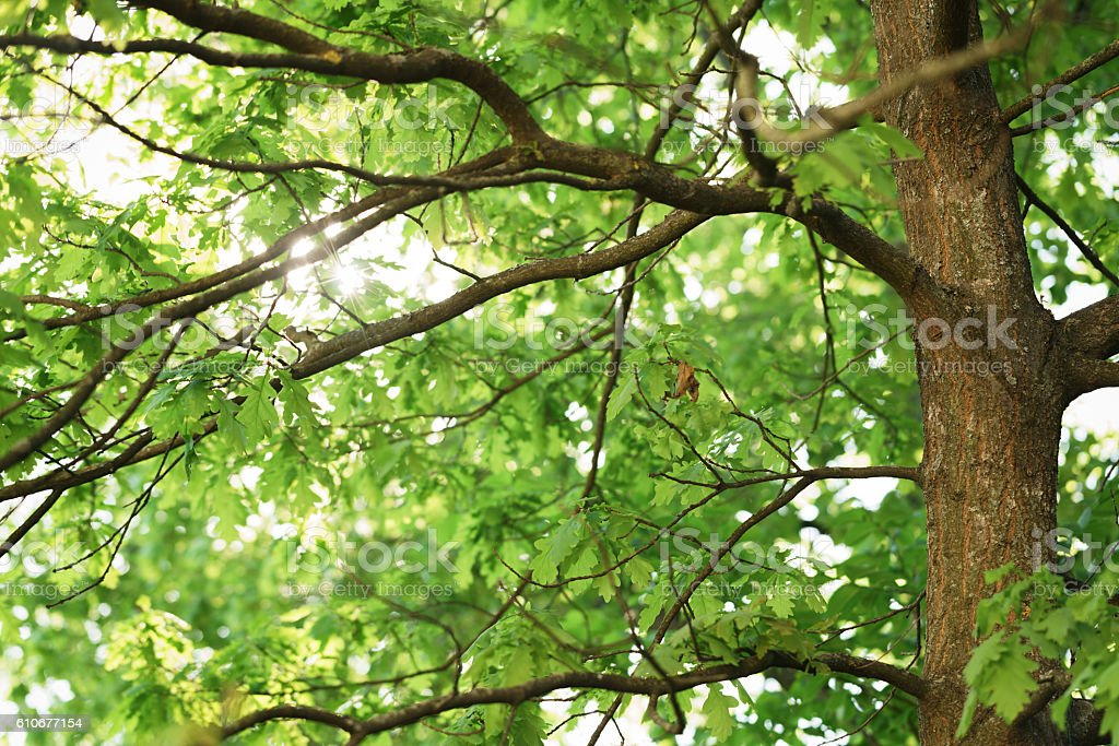 oak tree with young green leaves in sunny spring day stock photo