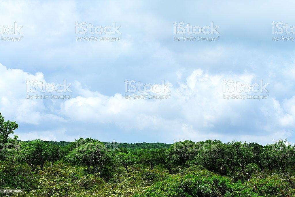 Oak tree woods in Parco della Giara stock photo