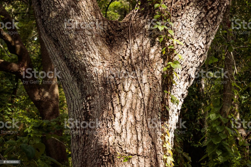 Oak tree Y shape tree trunk with climbing sprouts stock photo