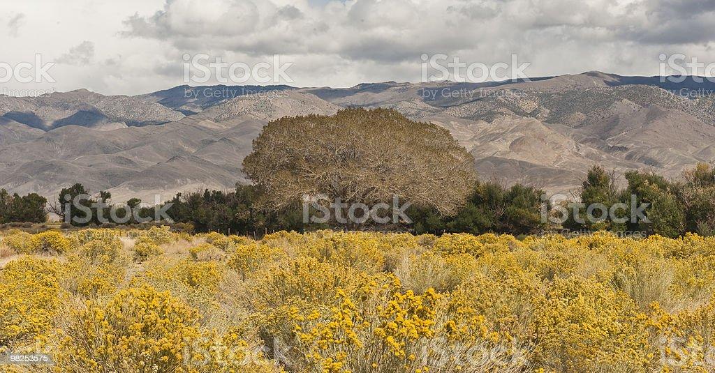 Oak Tree, Yellow Wildflowers, Owens Valley stock photo