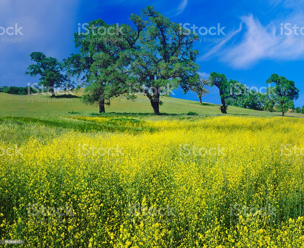 Oak Trees And Mustard Plants stock photo