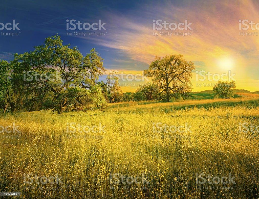 Oak Trees And Mustard Plants stock photo