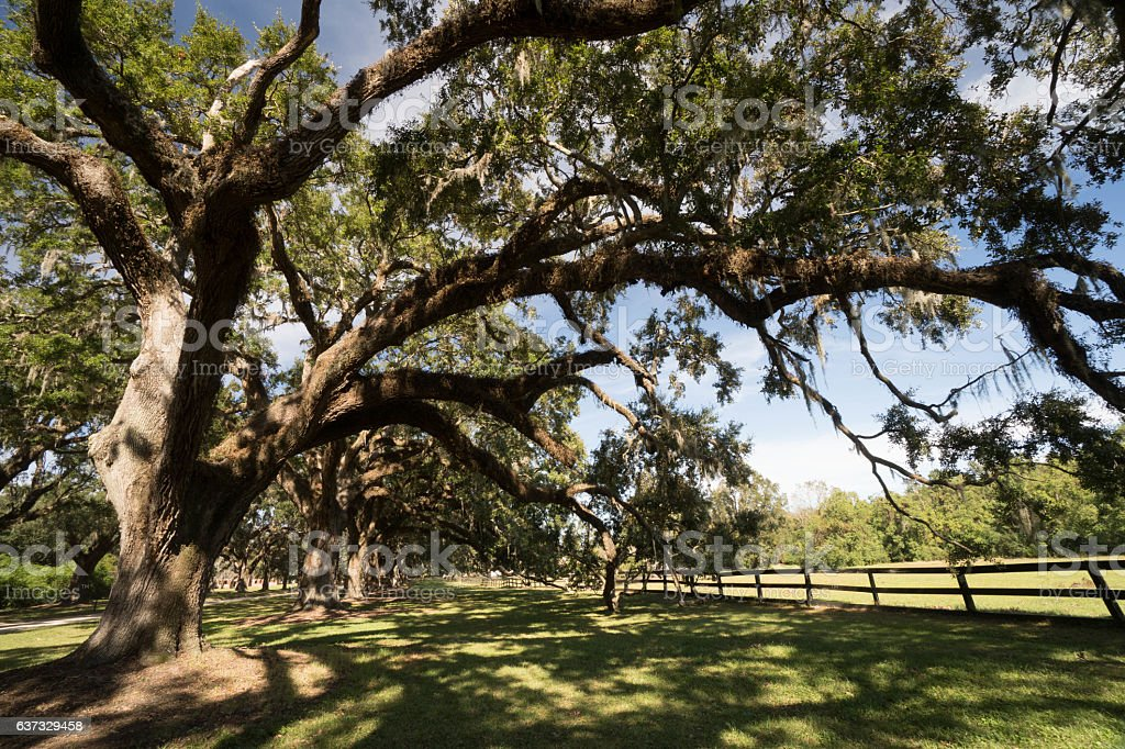 oak trees covered in spanish moss stock photo