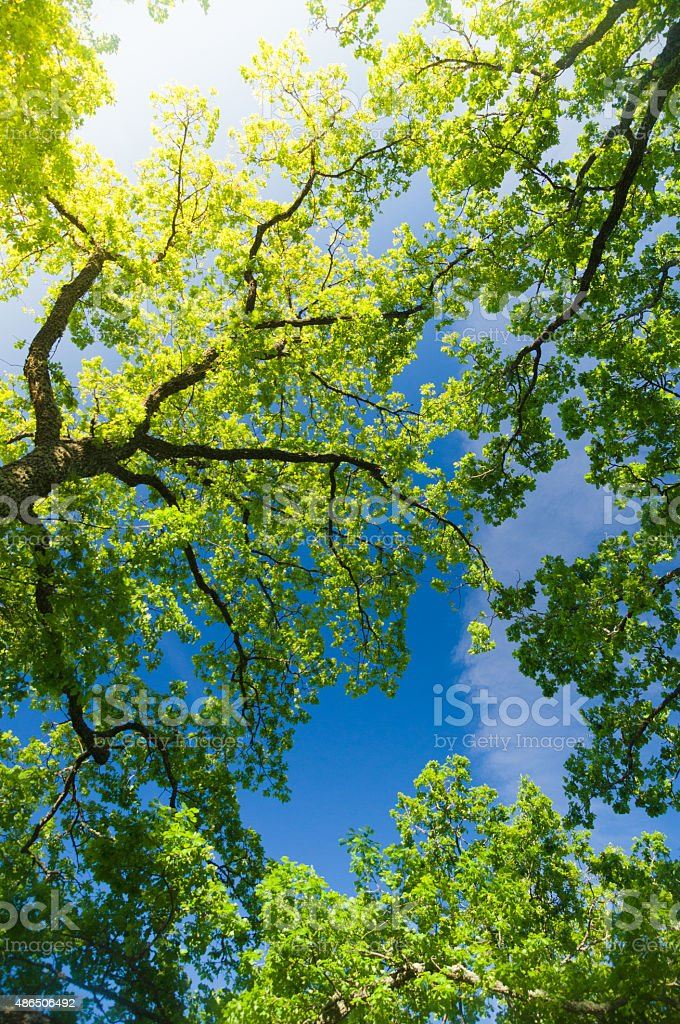 Oak trees from below under blue sky with sunflare stock photo
