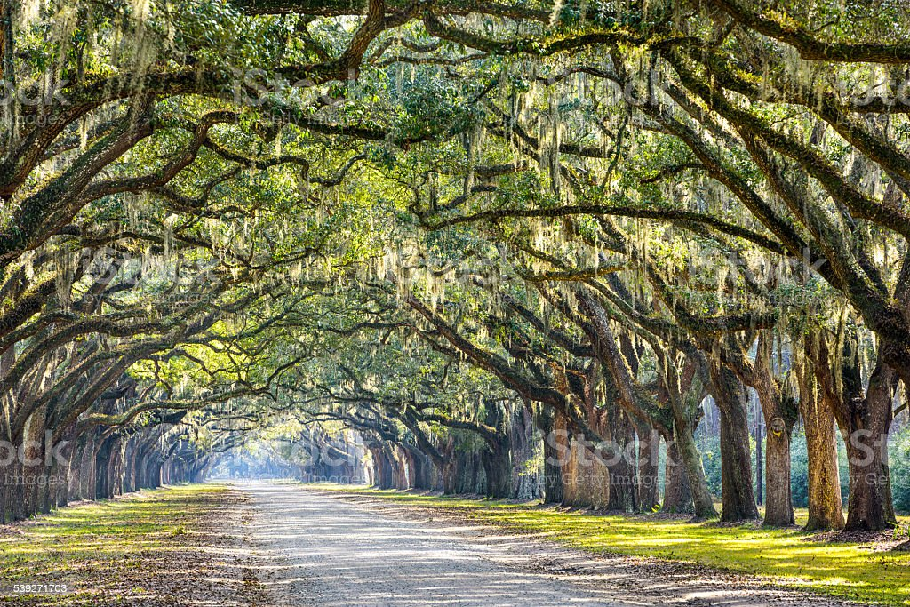 Oak Trees in Savannah stock photo