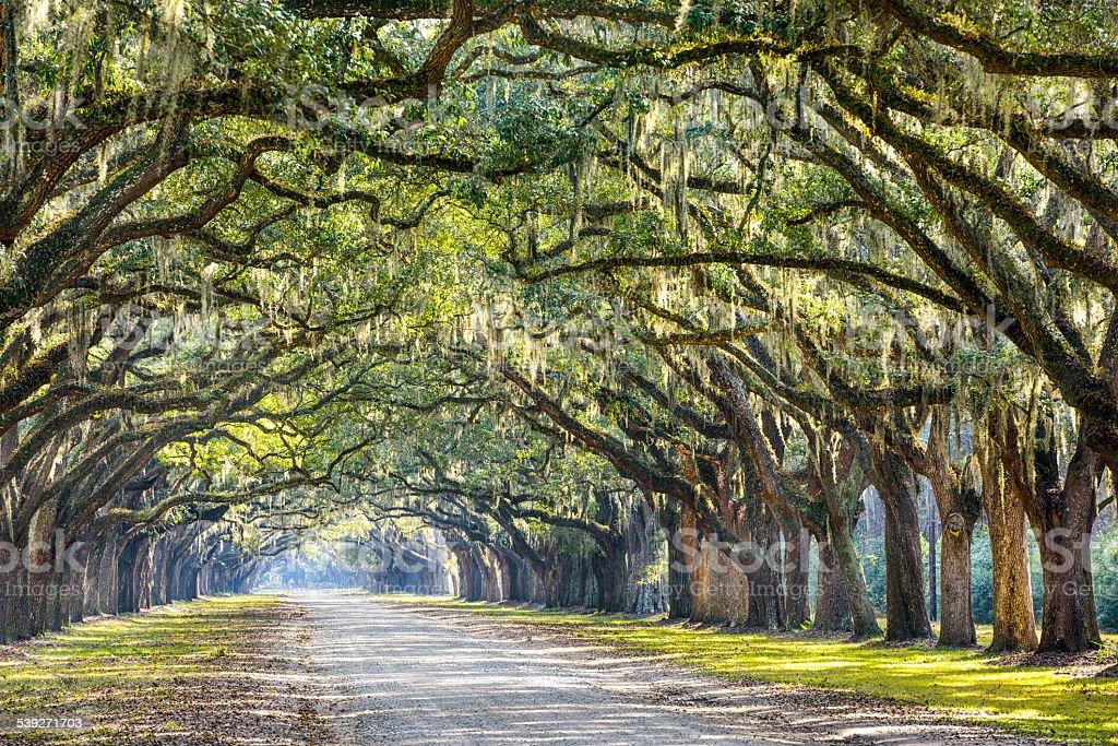 Oak Trees in Savannah stock photo