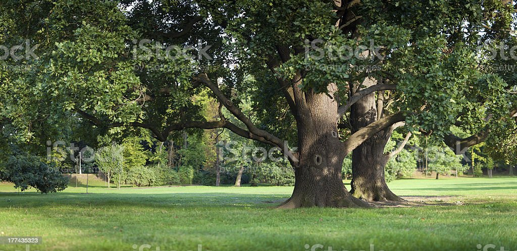 Oak trees in the park stock photo