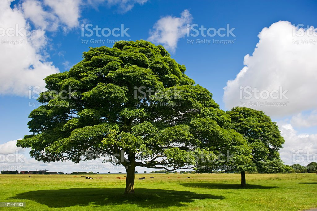Oak trees on Beverley Westwood royalty-free stock photo