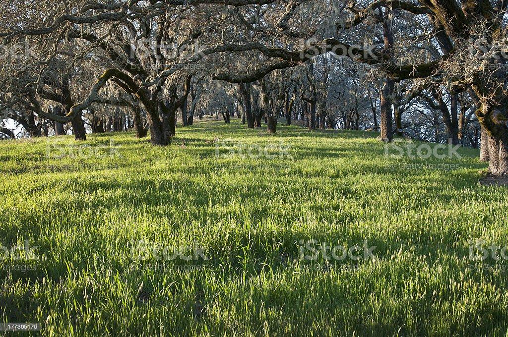 Árboles de roble foto de stock libre de derechos