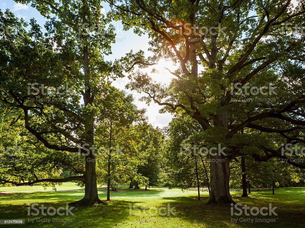 Oak Trees stock photo