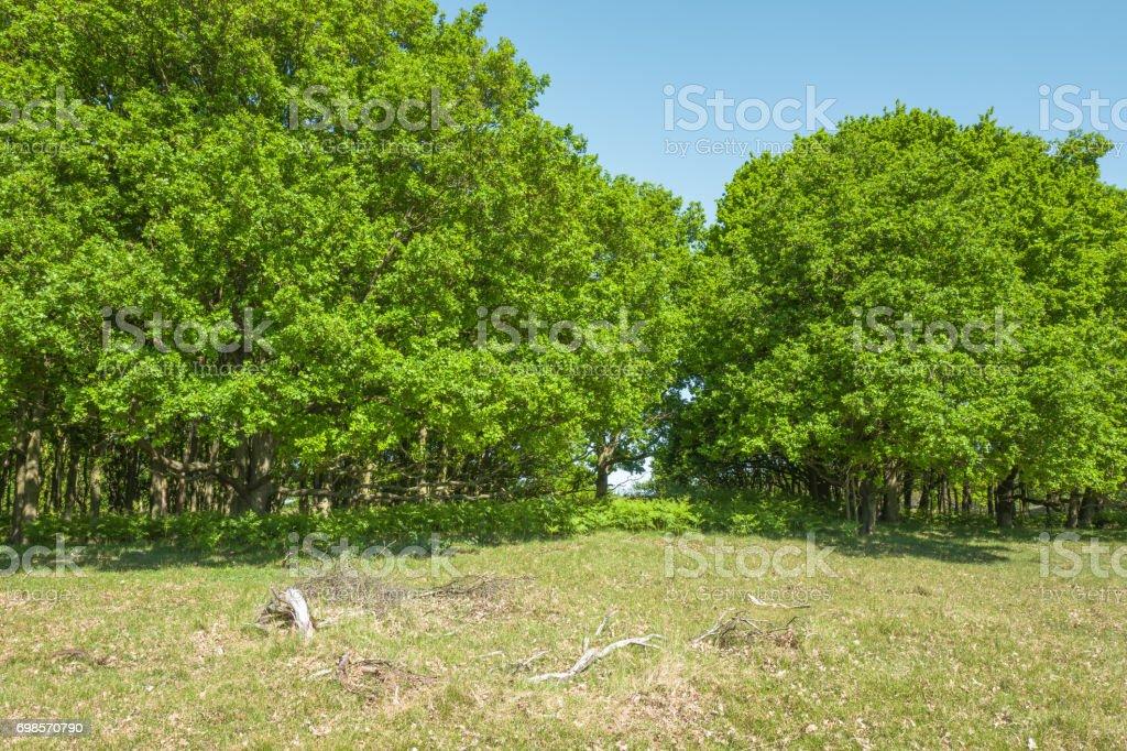 Oak trees. stock photo
