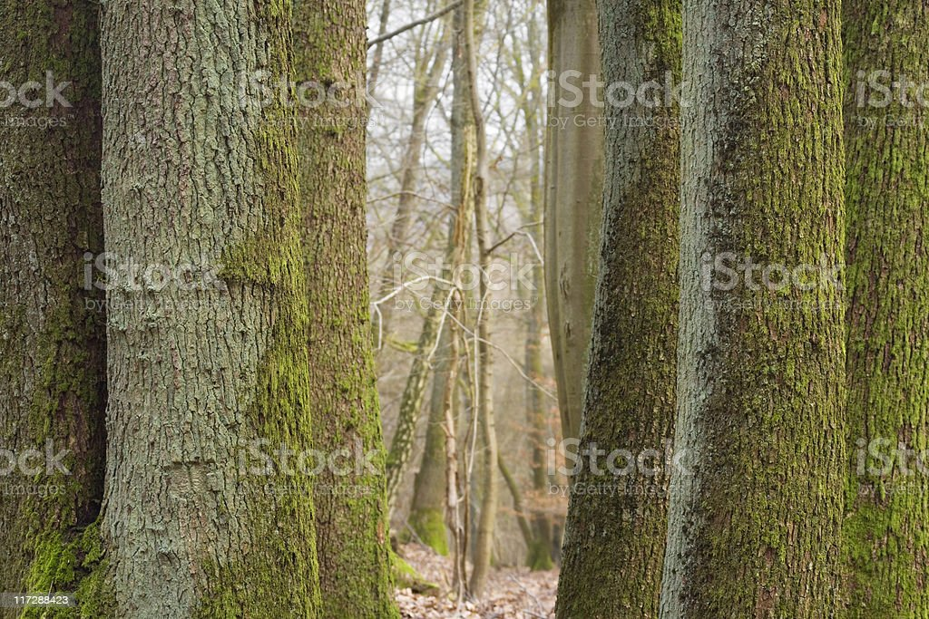 oak trunks royalty-free stock photo