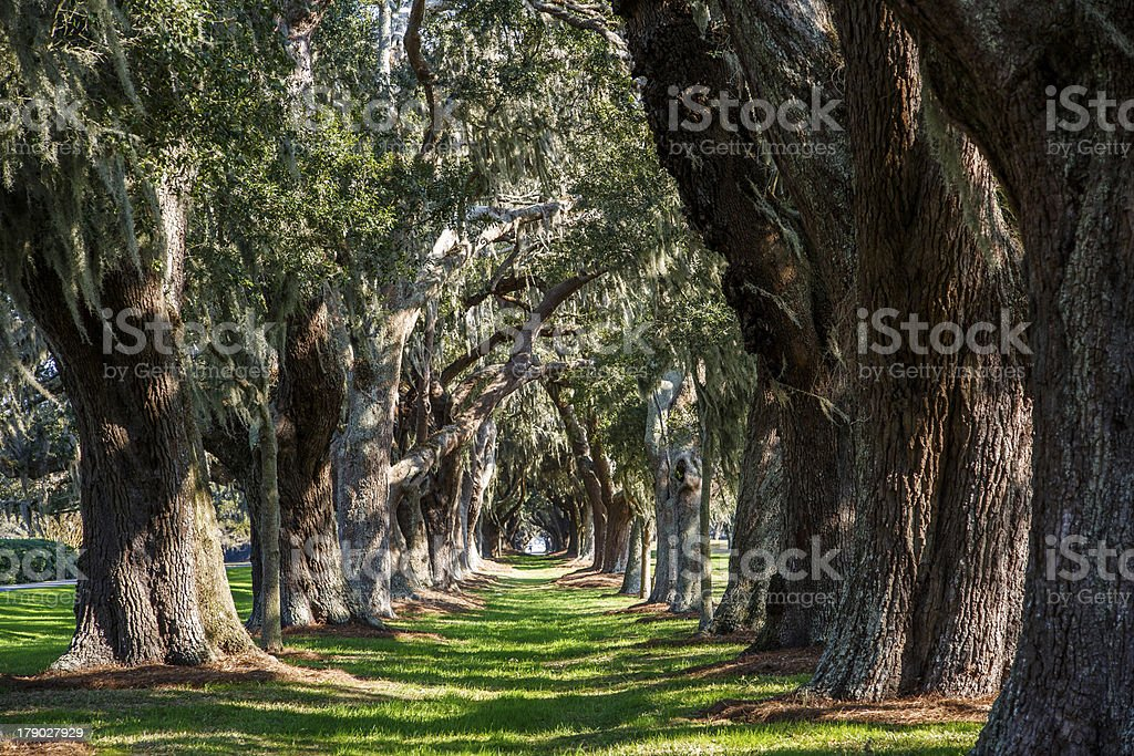 Oak Tunnel with Spanish Moss stock photo