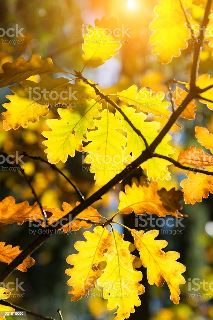 oak twig in backlit in fall - golden autumn light stock photo