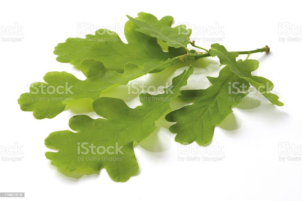 Oak twig royalty-free stock photo