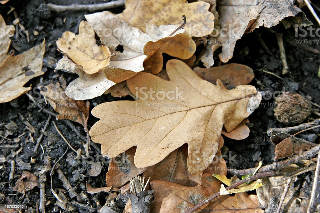 oaken fallen leaf stock photo
