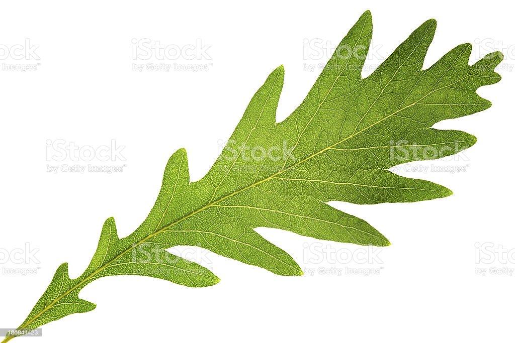 Oaken leaf stock photo