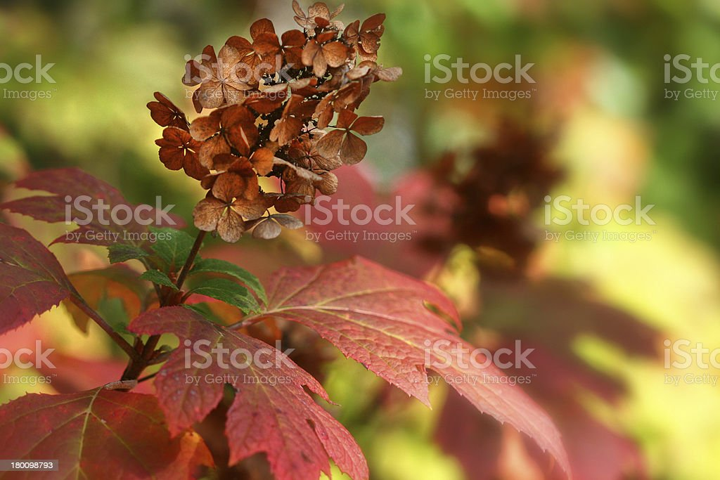 Oakleaf Hydrangea in the Fall stock photo