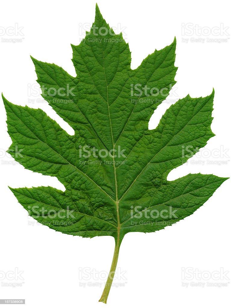 Oakleaf Hydrangea Leaf XXL royalty-free stock photo