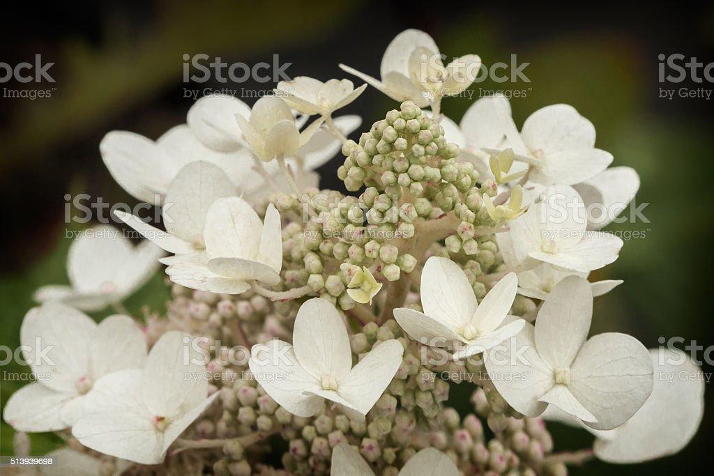 Oakleaf hydrangea stock photo