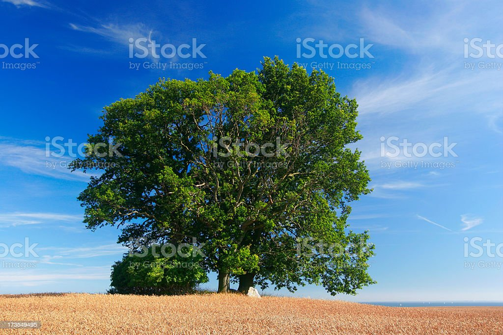 Oaks in Corn Field royalty-free stock photo
