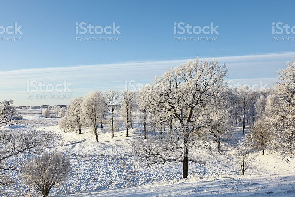 Oaks tree forest royalty-free stock photo