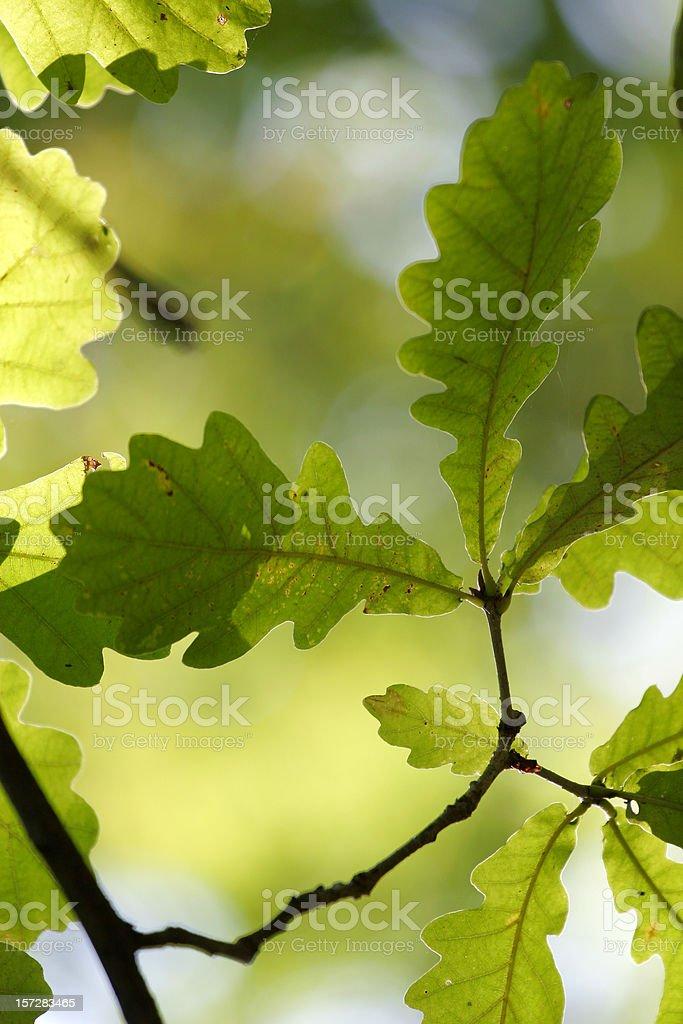 Oak-tree leaves royalty-free stock photo