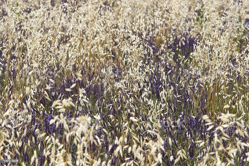 Oat and lavender royalty-free stock photo