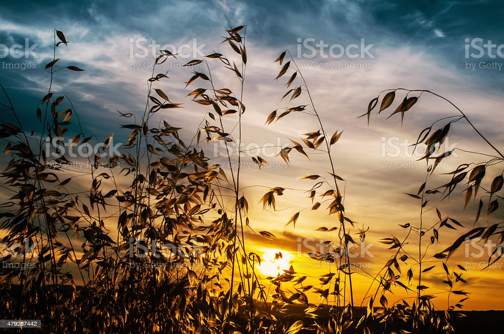 Oat blades at sunset stock photo