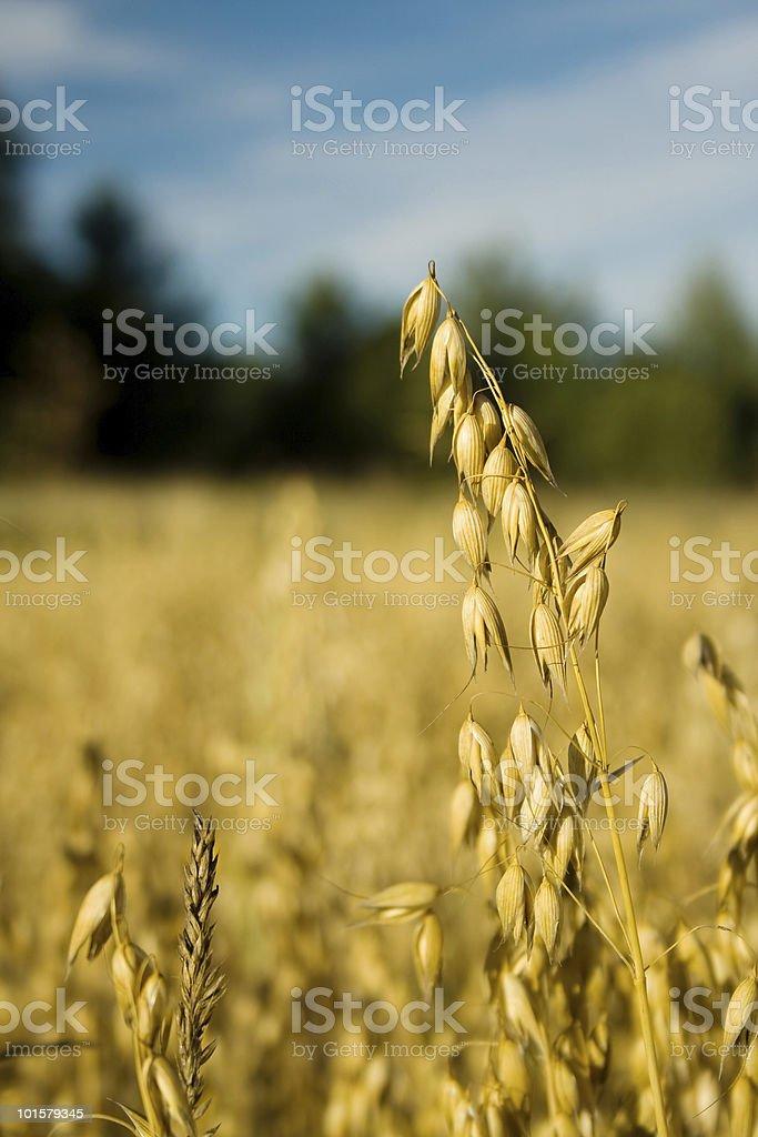 oat ear royalty-free stock photo