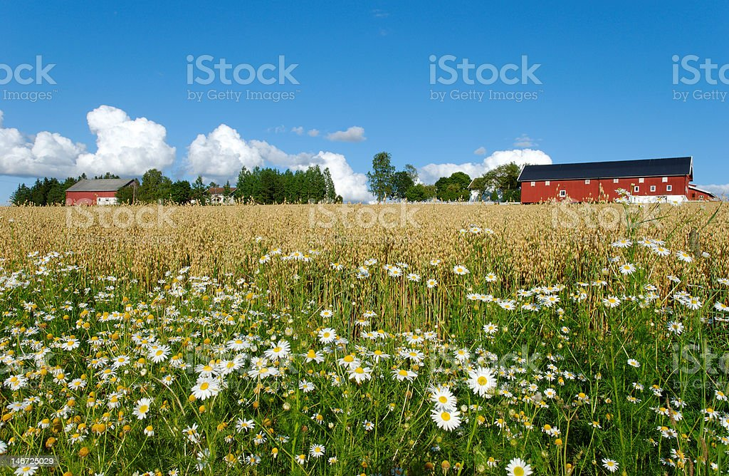 Oat Farm and Daisies stock photo