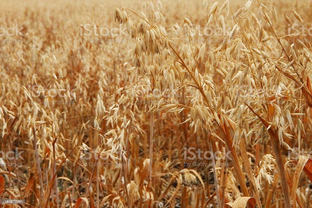 oat feild stubble royalty-free stock photo