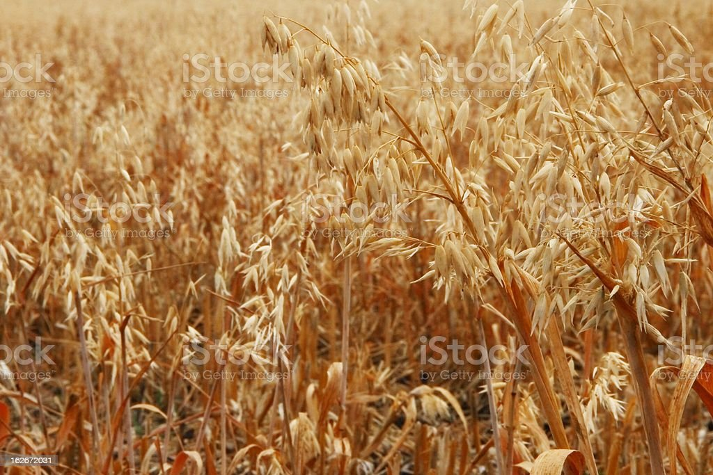 oat feild stubble stock photo