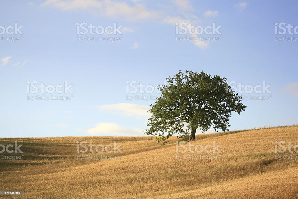 Oat field and a tree in Tuscany royalty-free stock photo
