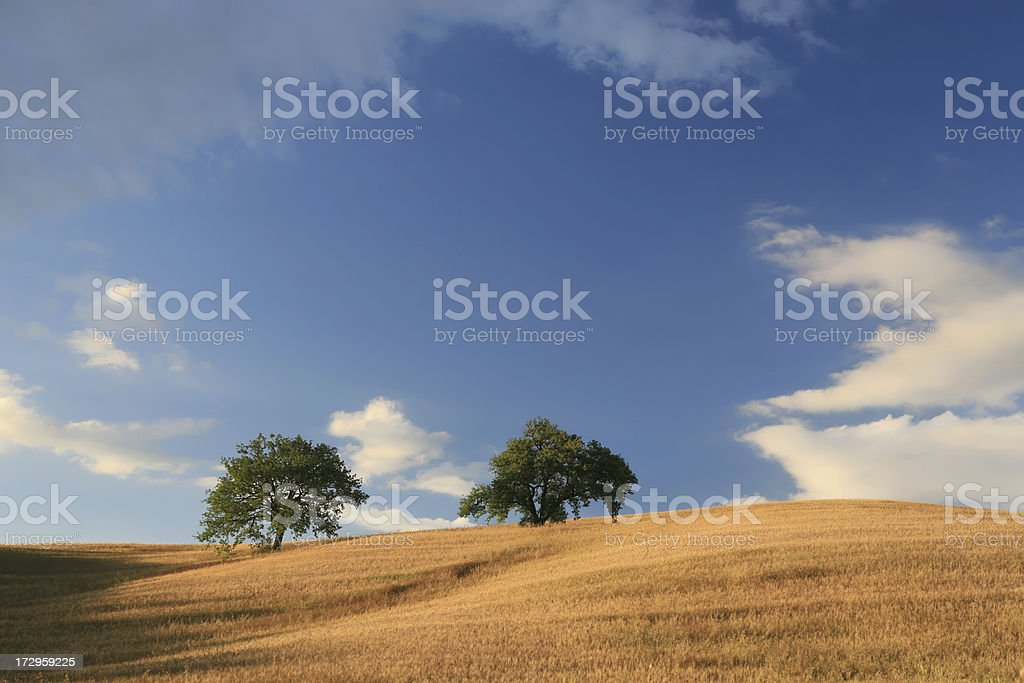 Oat field and two trees in Val d'Orcia, Tuscany Italy royalty-free stock photo