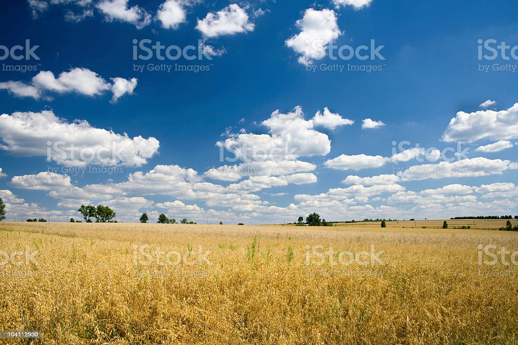oat field stock photo