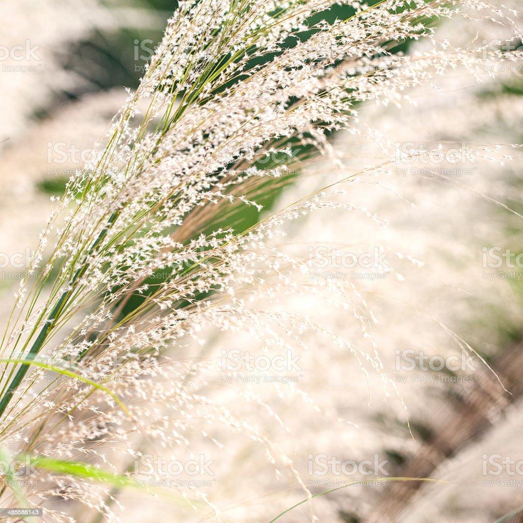 Oat grass stock photo