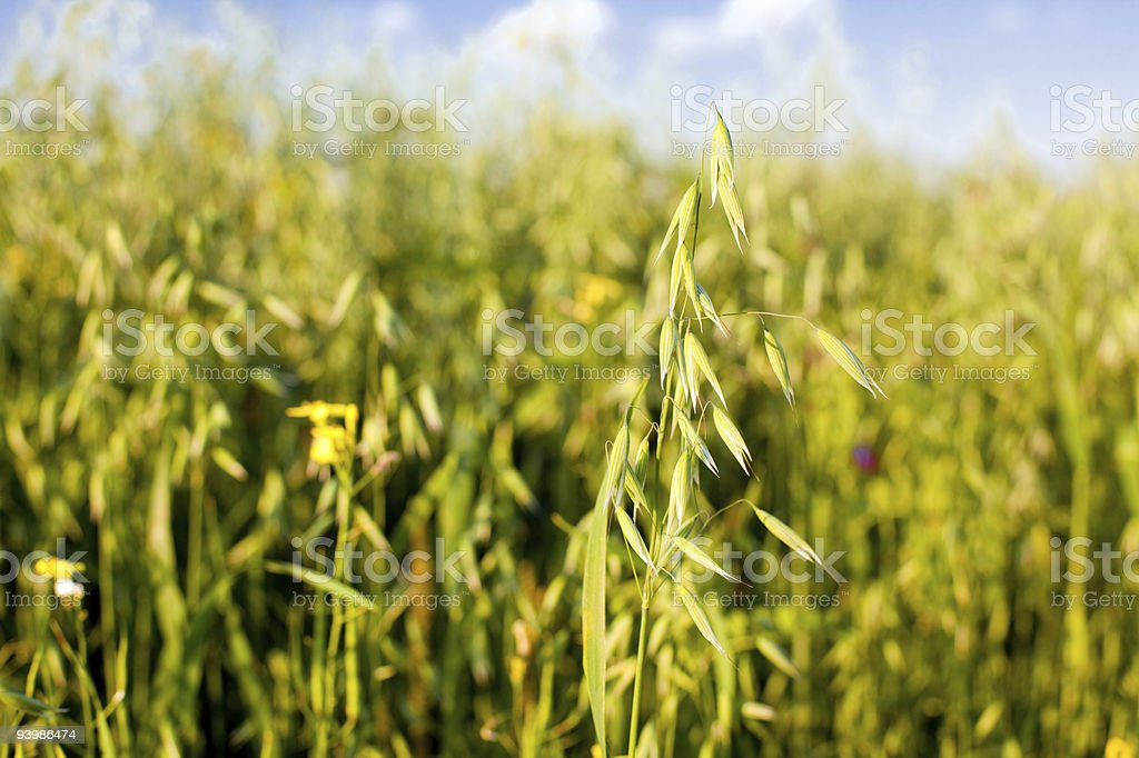 oat in a cereal field royalty-free stock photo