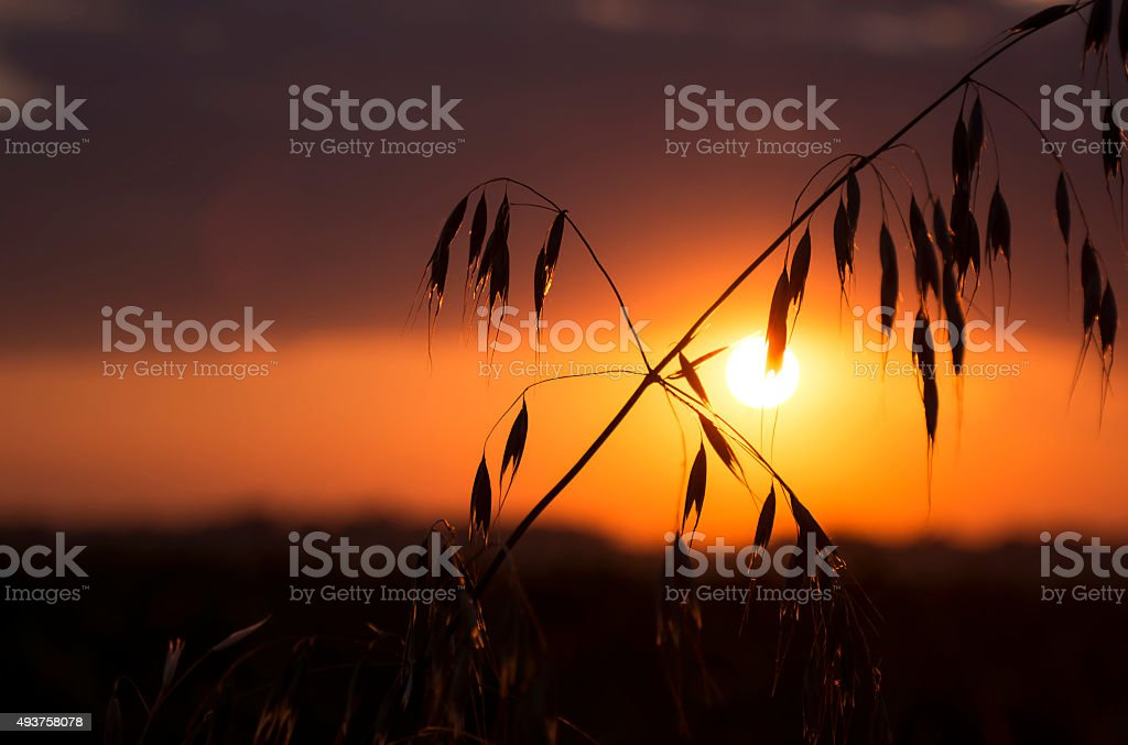 Oat in sunset stock photo