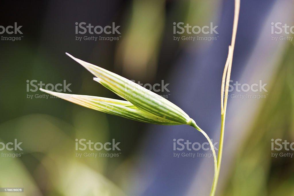 Oat plant royalty-free stock photo