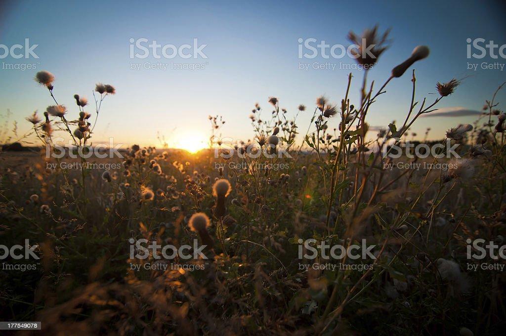 Oats at sunset stock photo