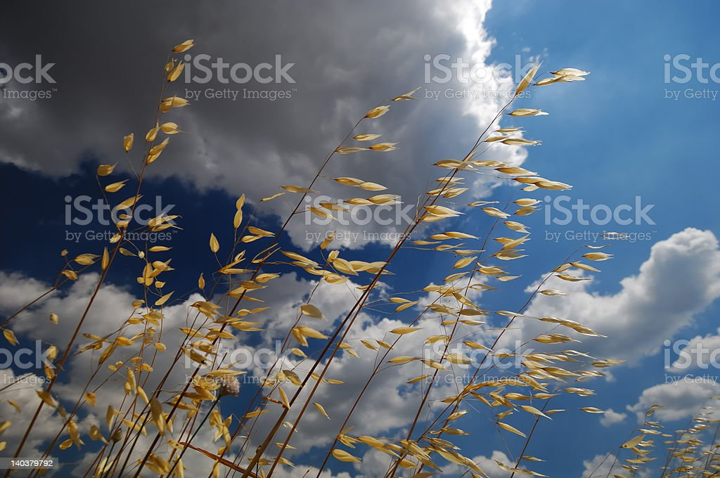 oats ears and clouds royalty-free stock photo