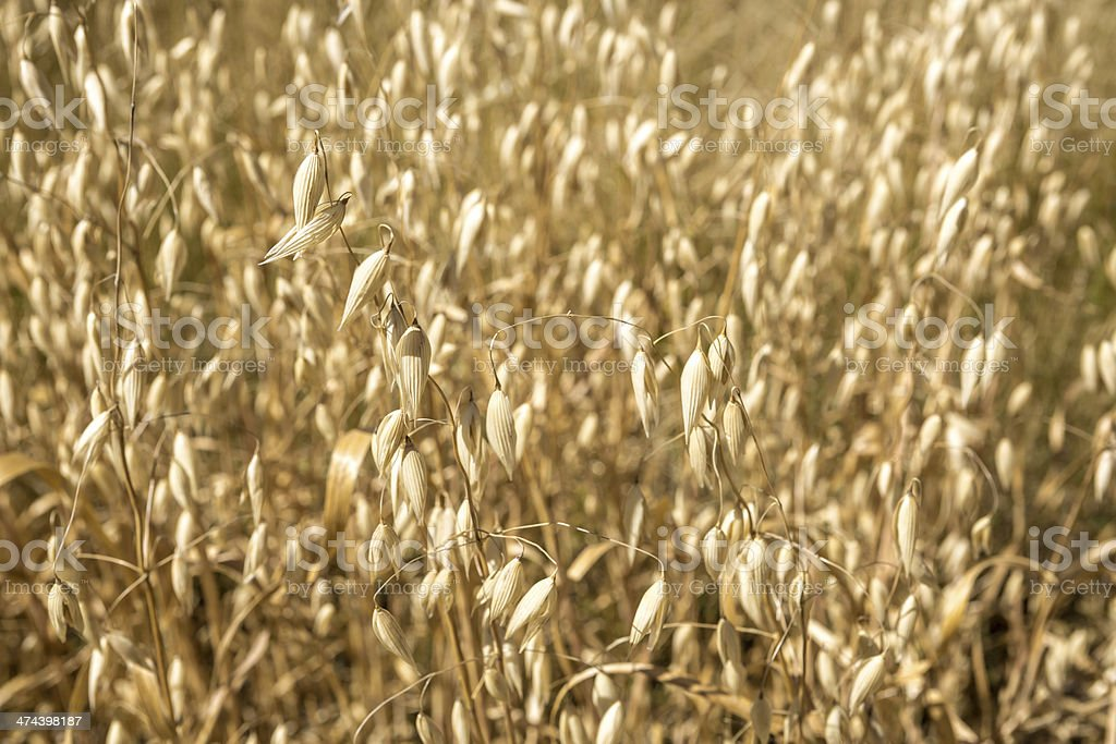 Oats growing in a sunny field royalty-free stock photo