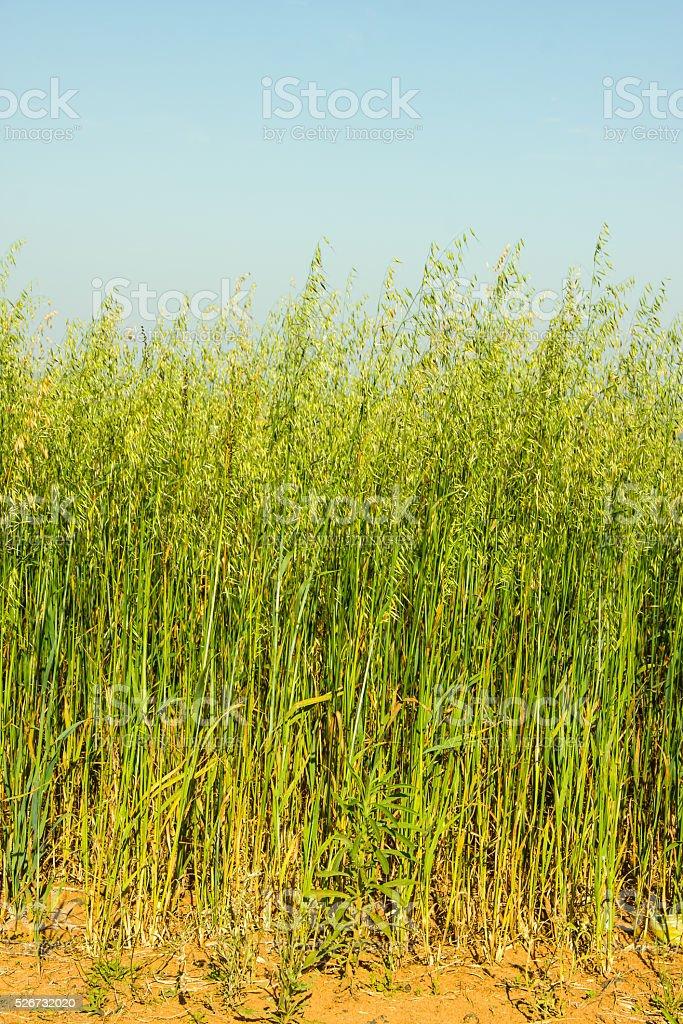 Oats Plantation stock photo