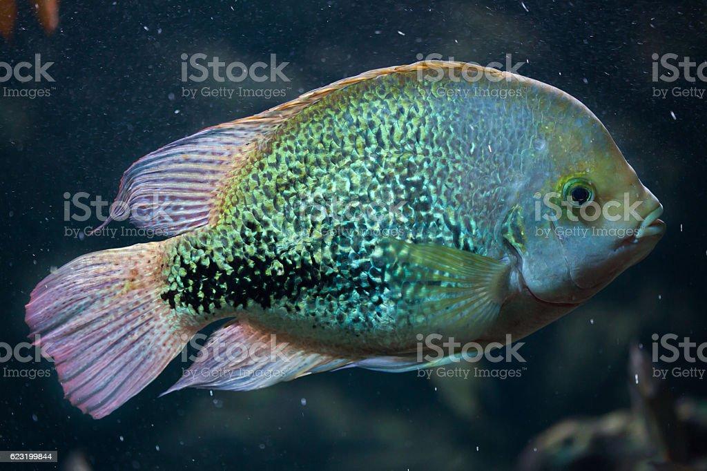 Oaxaca cichlid (Vieja zonata). stock photo