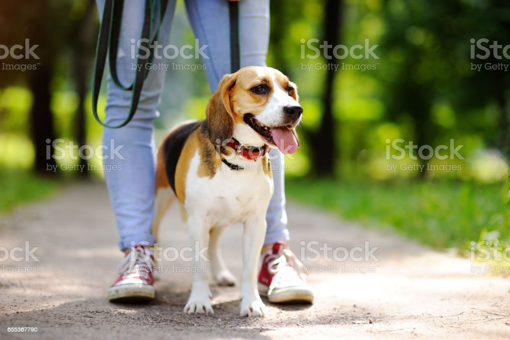 Obedient Beagle dog with his owner stock photo