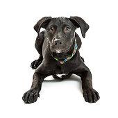 Obedient Black Labrador Crossbreed Puppy