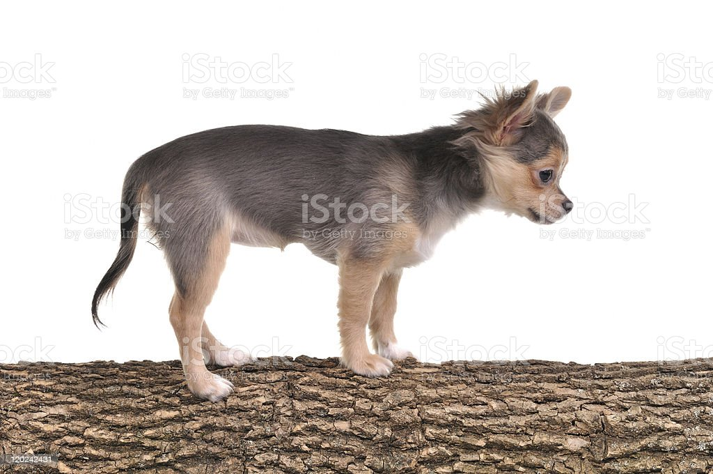 Obedient chihuahua puppy standing on tree trunk at agility course royalty-free stock photo